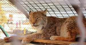 Новые жители симферопольского зооуголка: рысь, пума, чёрные волки