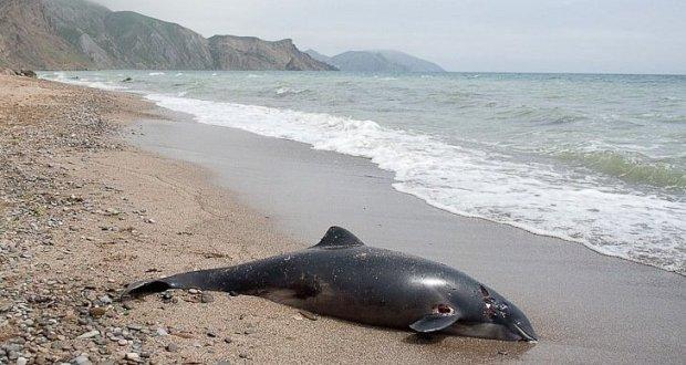 У берегов Крыма и Кубани массово гибнут дельфины