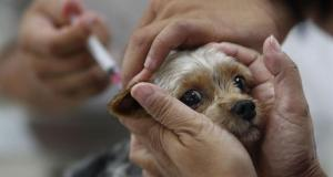 В Симферополе проводят срочную вакцинацию собак и кошек