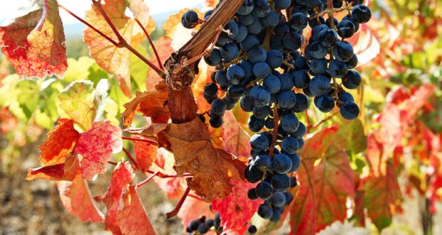 Главой Ассоциации виноградарей и виноделов Крыма вновь избрана Янина Павленко