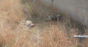 В Керчи расстреляли стерилизованных собак