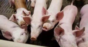 Неожиданно, но в Крыму отменен карантин по африканской чуме свиней