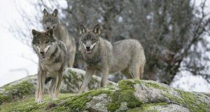 В селах Бахчисарайского района люди жалуются на волков
