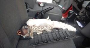 Украинец хотел вывезти из Крыма краснокнижного сокола-кречета