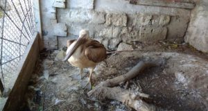 Госинспекторы Минприроды Крыма спасли краснокнижного птенца Розового пеликана