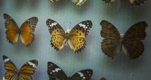 В Зоологическом музее КФУ им.Вернадского представлена уникальная коллекция бабочек