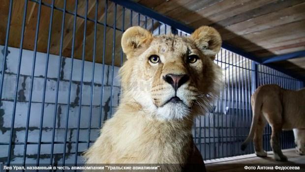 Четыре льва из Крыма переехали на ПМЖ в Приморский край!