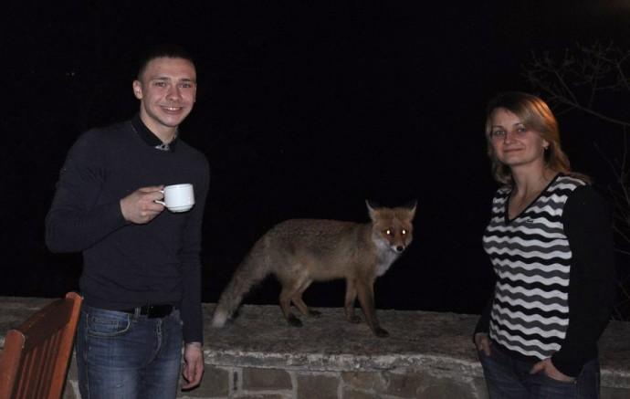 В Судаке лиса стала «постоянным клиентом» кафе
