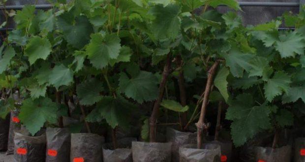 В Крыму сожгли 50 тысяч саженцев итальянского винограда