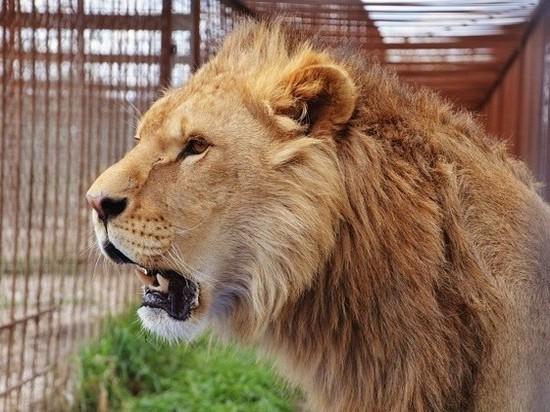 В крымском сафари-парке «Тайган» состоялся традиционный выпуск львов в саванну