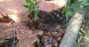 В Гаспре вырубили краснокнижные деревья. Власти говорят - нарушений нет