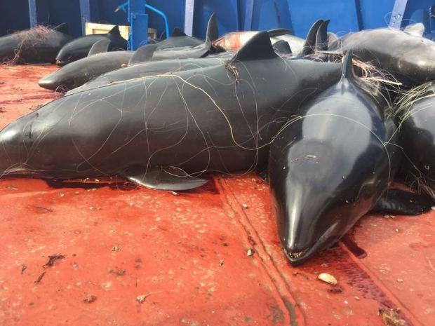Что именно натворили украинские браконьеры у берегов Крыма. 46 погибших дельфинов