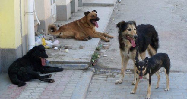 В Феодосии предупреждают: 25 июня начнётся отлов бродячих собак. Сотню животных усыпят