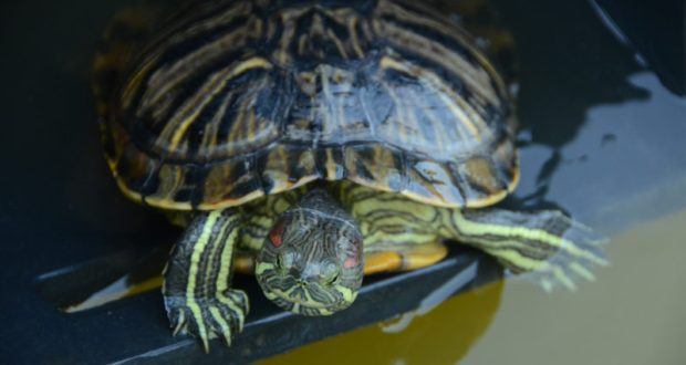 Из Севастополя в Никитский ботанический сад. История спасения 23 черепах из пруда ТЦ «Муссон»