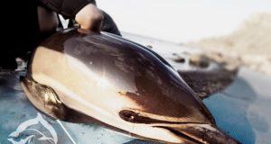 Пластик убил дельфина-белобочку под Судаком