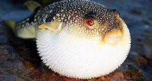 «Экология Севера»: ядовитые рыбы заселяют Чёрное море