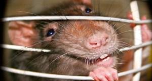 Часть Ялты обесточила… крыса