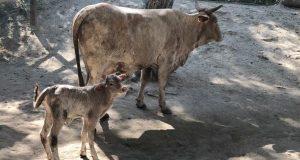 В Бахчисарайском зоопарке мамой стала уникальная корова