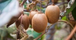 На экзотическом участке крымской «Массандры» стартовала уборка урожая… киви и хурмы