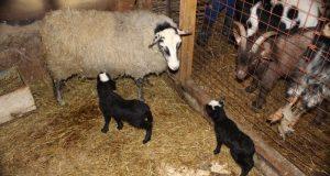 Пополнение в Алуштинском зоопарке - многодетной мамой стала овечка
