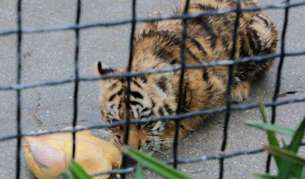 В зооуголке Детского парка Симферополя умер молодой тигр Алтай