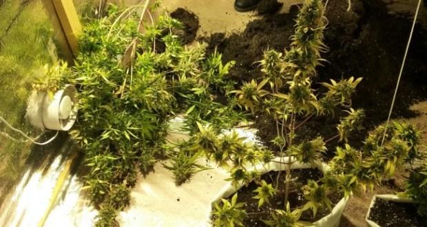 В Ялте полицейские изъяли более 20 кустов конопли у местного «ботаника»