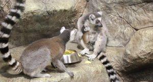 В Алуштинском зоопарке родители стали кошачьи лемуры