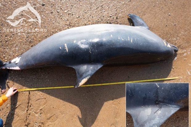 У берегов Севастополя обнаружили три десятка мёртвых дельфинов