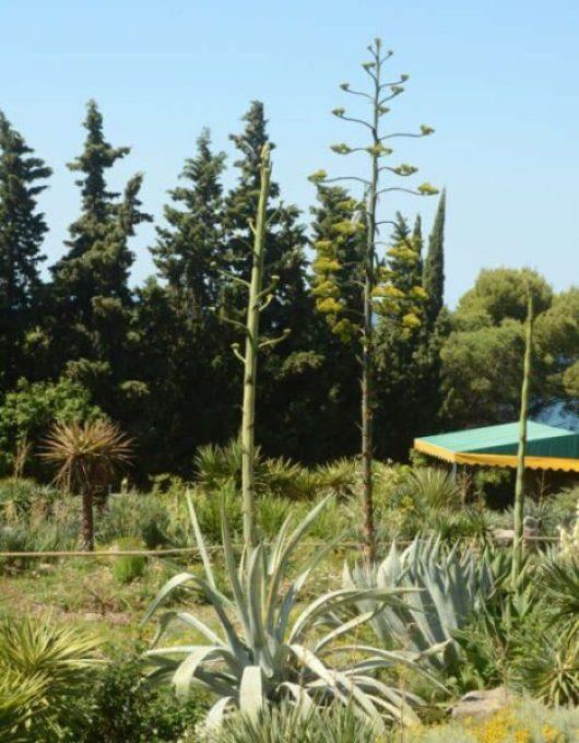 В Никитском саду - уникальное событие! Расцвела агава, которая готовилась к этому 48 лет