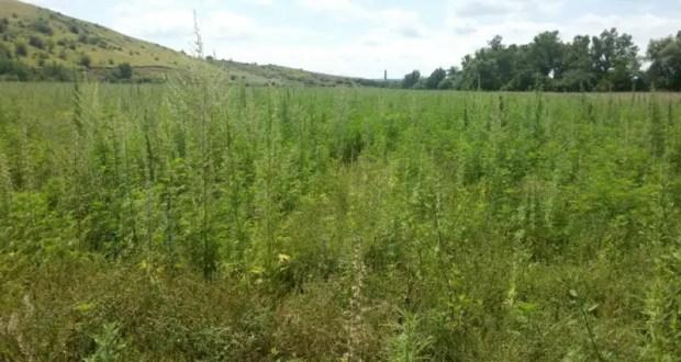 В Белогорском районе обнаружили большое поле дикорастущей конопли