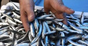 В Черном море стало меньше хамсы