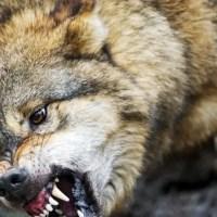 Плохая новость: напавший под Симферополем на людей волк был болен бешенством