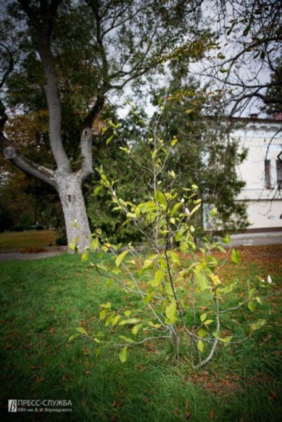 И осень в Крыму - весна. В Ботаническом саду КФУ зацвела магнолия