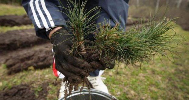 Одни рубят, другие высаживают. В Симферополе - компенсационная высадка деревьев