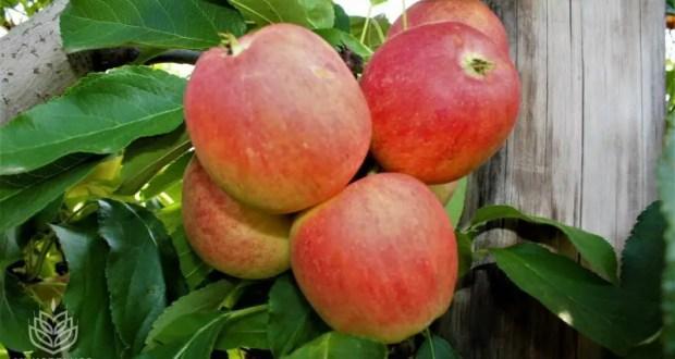 Урожай плодово-ягодной продукции в Крыму - более 78 тысяч тонн