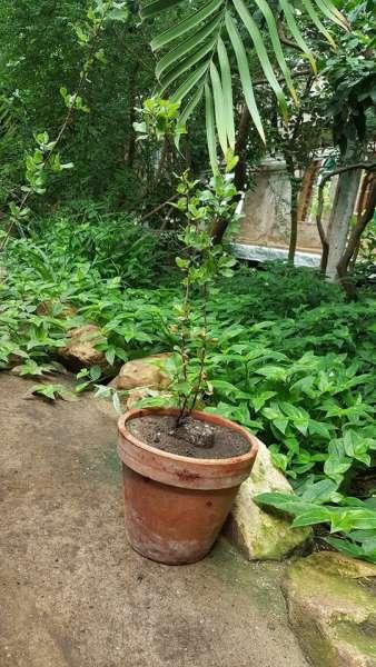 """200 лет! Знаменитая роща пробковых дубов в Никитском саду отмечает """"день рождения"""""""