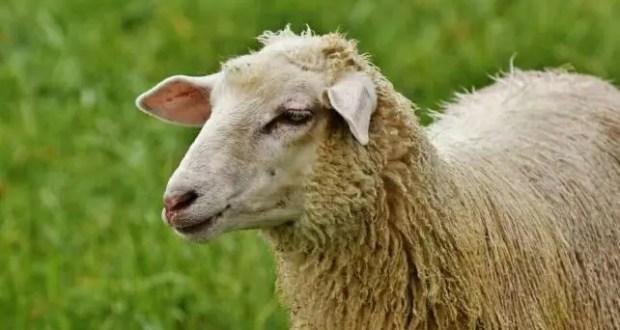 В Нижнегорском районе осудили бухгалтера предприятия за кражу овец, денег и подделку документов