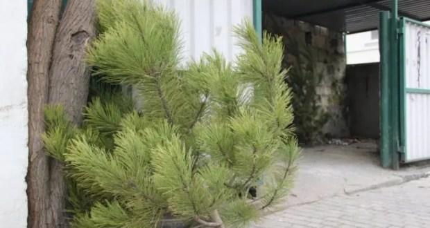 Ёлки, выброшенные севастопольцами, будут использовать в качестве натурального удобрения