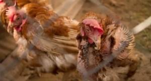 Севастопольские ветеринары проводят вакцинацию домашней птицы против болезни Ньюкасла