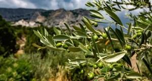 На полях КФУ будут выращивать лучшие зарубежные сорта оливы