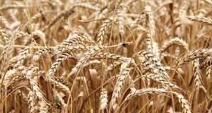В Крыму яровой сев проведён на площади более 65 тысяч гектаров
