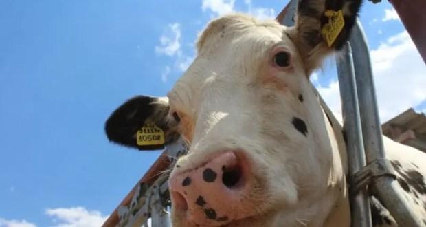 Минсельхоз Крыма распределил почти 29 миллионов рублей на поддержку производства молока
