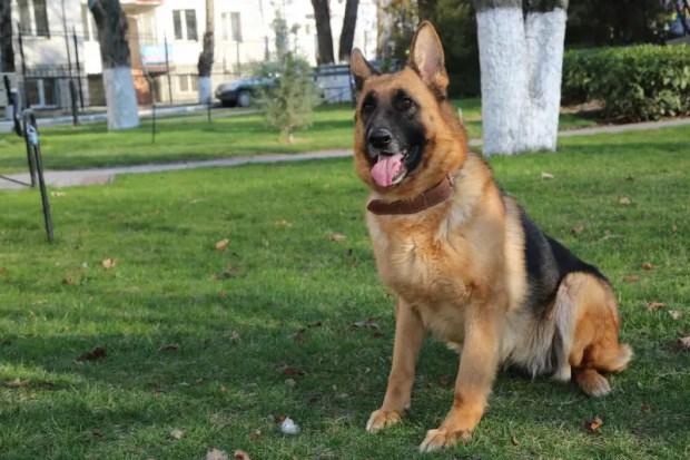 Овчарка Юта раскрыла кражу в Симферопольском районе