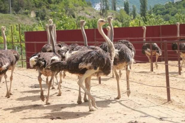 В Севастополе работает страусиная ферма