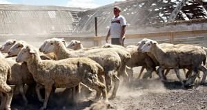 В Крыму решили заняться селекцией овец