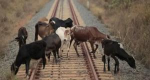 В Крыму сельчан просят следить за крупным рогатым скотом - животные выходят на ж/д пути