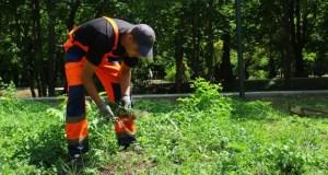 В Симферополе идёт борьба с амброзией