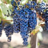 Чужой виноград брать нельзя! Инцидент в Феодосии