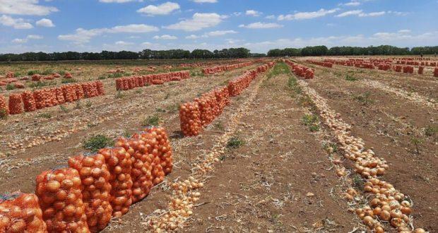 Крымские аграрии собрали более 80 тысяч тонн овощей