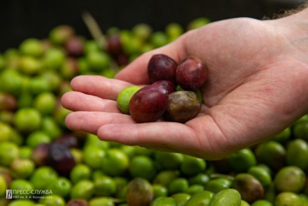 КФУ запустил собственную линию производства оливкового масла